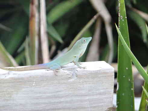 Close-up of a Bermudian lizard, spotted by Voyager crew, after the Marion to Bermuda sailing race in 2013.