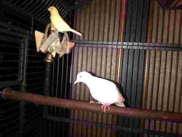 Geraldo's rescue dove and Tweets